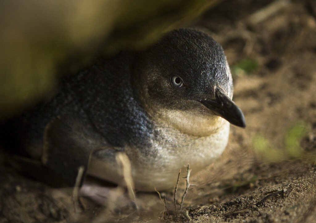 A little penguin, the name of the smallest penguin species, rests in a crack in the  rocks on Middle Island, Australia, Oct. 21, 2015. Maremma, a particularly territorial breed of sheepdog, have been deployed to the island to protect the birds, whose population was being decimated by red foxes. (David Maurice Smith/The New York Times)